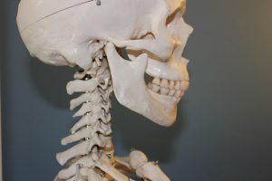 Schädel mit Kiefergelenk und Halswirbelsäule